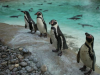 Love among the gay penguins at London Zoo (+ Video)