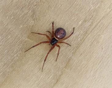 Female noble false widow spider JP Dunbar